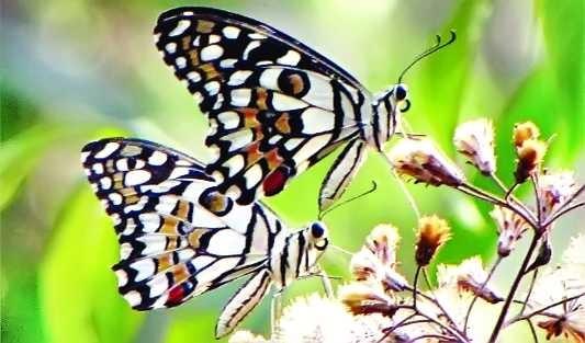 দেশের প্রথম প্রজাপতি পার্ক জাহাঙ্গীরনগর বিশ্ববিদ্যালয়ে