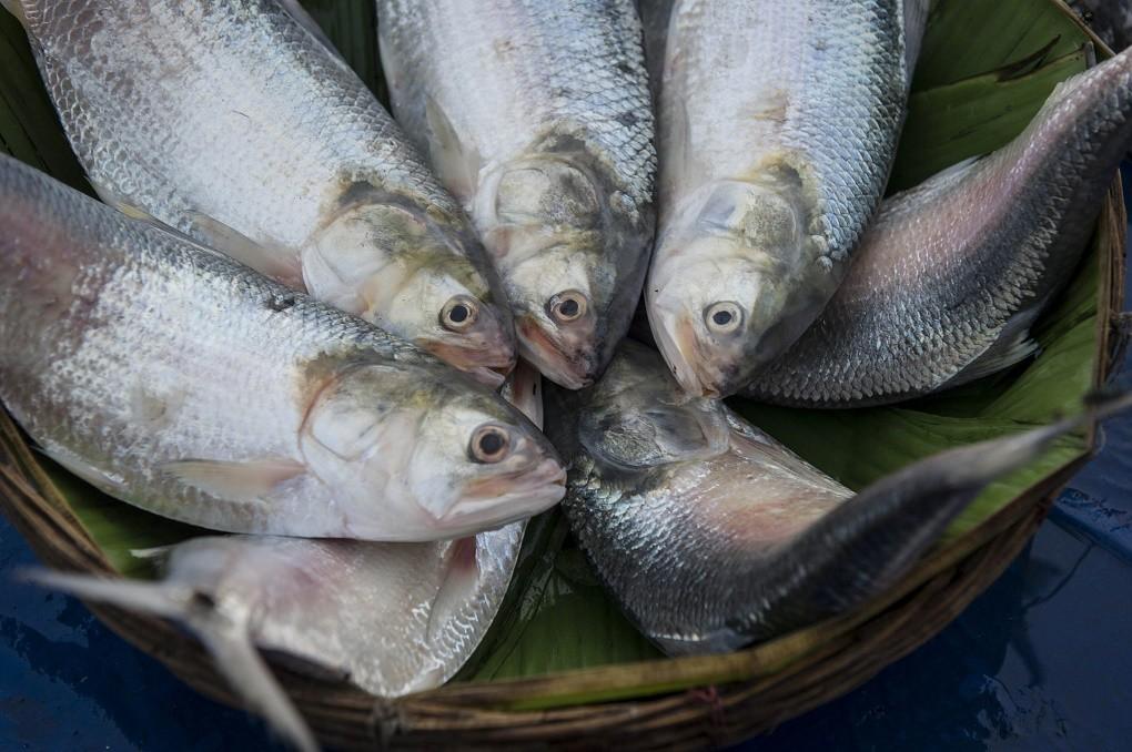ভৌগোলিক নির্দেশক(জিআই) পণ্য হিসেবে স্বীকৃতি পেল বাংলাদেশের ইলিশ মাছ