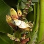 আন্দামান ও নিকোবর  দ্বীপপুঞ্জে বন্য কলার নতুন প্রজাতি আবিষ্কৃত